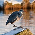 Heron in snow by John C. Murphy