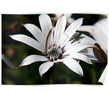 Osteospermum with insect Poster