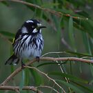 New Holland Honey eater by UncaDeej