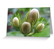 white jasmine blossoms Greeting Card