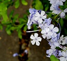 White Flowers  by Vicki Simmons