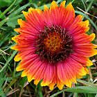 Firewheeel, aka Indian Blanket by worldtripper