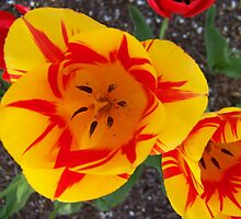 Two Tone Tulips Close Up by quiltmaker