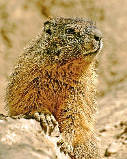 The Marmott by Rodney55