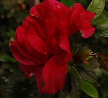 Sweet red azalea by Caitlin Dickman