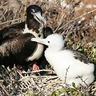 Galapagos Frigate Bird & Chick by Jane McDougall