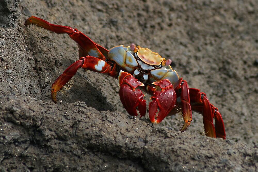 Red Crab, Grey Rock, Galapagos, Ecuador by Jane McDougall
