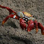 Red Crab, Grey Rock, Galapagos, Ecuador by Jane McDougall