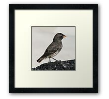Evolution, Darwin Finch, Galapagos Framed Print