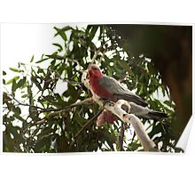 Galahs, adult and juvenile Poster