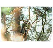 Rainbow Bee Eaters, Healesville Sanctuary, Victoria Poster
