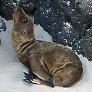 Sea Lion Pup by Jane McDougall