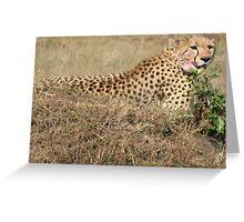Cheetah - Masai Mara, Kenya Greeting Card