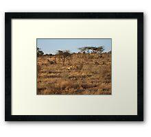 Lion kill - Masai Mara, Kenya Framed Print