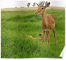 Impalas  Poster