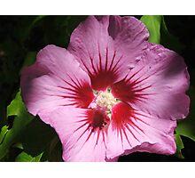 Hibiscus (4477) Photographic Print