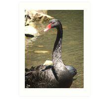 Black Swan (4530) Art Print