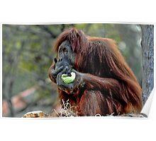 Orangutan at Melbourne Zoo Poster