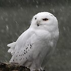 SNOWY OWL by Norfolkimages