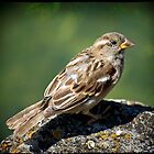 House Sparrow (Passer domesticus) by kilmann