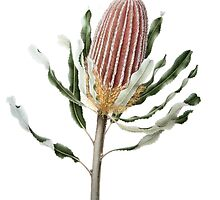Banksia menziesii - Firewood Banksia by Cheryl Hodges