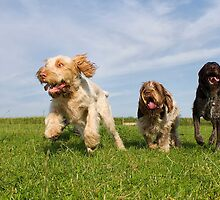 Orange & White, Brown Roan Italian Spinone Dogs & German Wirehaired Pointer Dogs by heidiannemorris