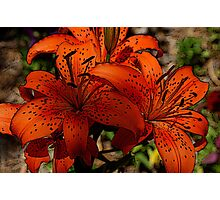 tiger lilies,farmstead,Kansas Photographic Print