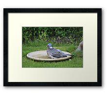 Pigeon Framed Print