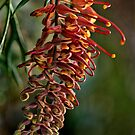 Backyard Grevillea by Dianne English