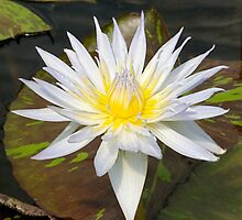 White/Yellow Water Lily Flower by edesigned