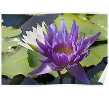 Water Lily Flowers Poster