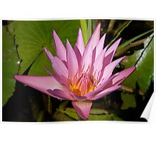 Pink Water Lily Flower Poster