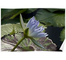 Blue Water Lily Flower Poster