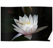 Sunken Gardens Water Lilly _ 0147 Poster
