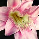 Pink by Sarah Jennings