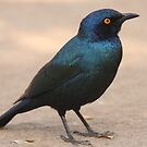 Glossy Starling by Jo McGowan
