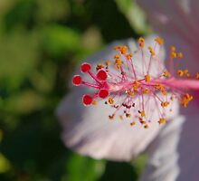 Hibiscus by Brian Edworthy