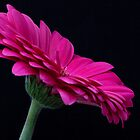 PInk Gerbera by Ray Clarke