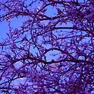 Magenta Winter by rharvey