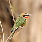 White Fronted Bee-Eater by Jo McGowan