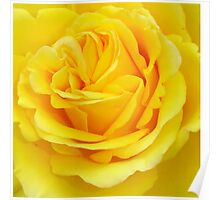 Beautiful Yellow Rose Closeup  Poster