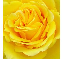 Beautiful Yellow Rose Closeup  Photographic Print