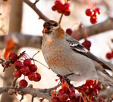 Pine Grosbeak feeding on Crabapple Berries by Joy Leong-Danen