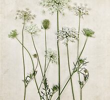 Queen Anne's Lace by Debbra Obertanec