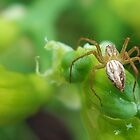 Female Lynx Spider (No.2) by mindy23