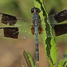 Band-Winged Drgonlet by Robert Abraham