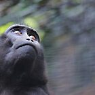 Sulawesi Crested Macaque  by Sheila Smith