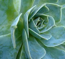 Agave by Stephanie Hall