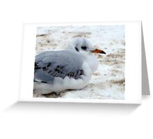 Little Gull Greeting Card
