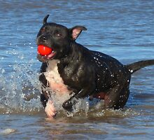 staffy on the beach by nickhedges